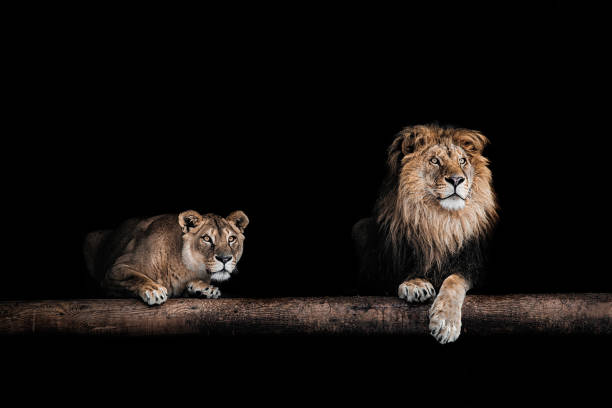 lion and lioness, portrait of a beautiful lions, lions in the dark - lioness stock photos and pictures