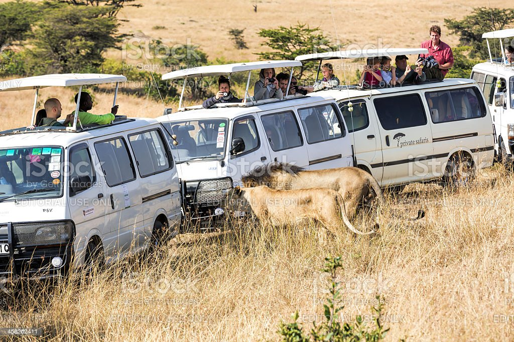 lion and lioness - tourists watching very close royalty-free stock photo