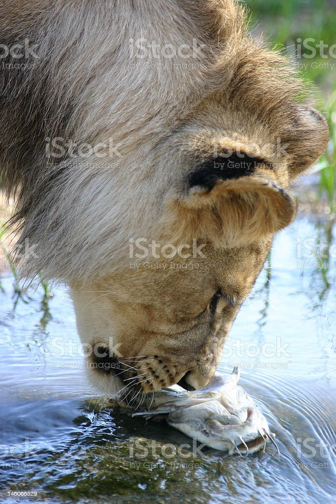 Lion and the Fish royalty-free stock photo