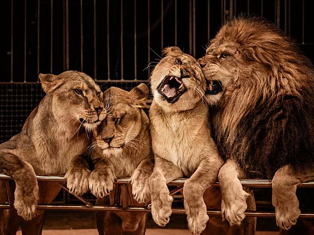 Lion and three lioness stock photo
