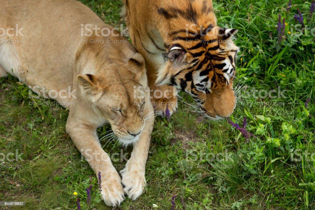 Aslan ve kaplan stok fotoğrafı