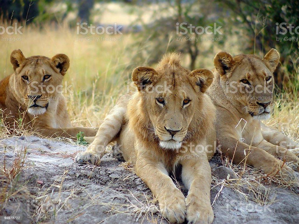 Lion Around royalty-free stock photo