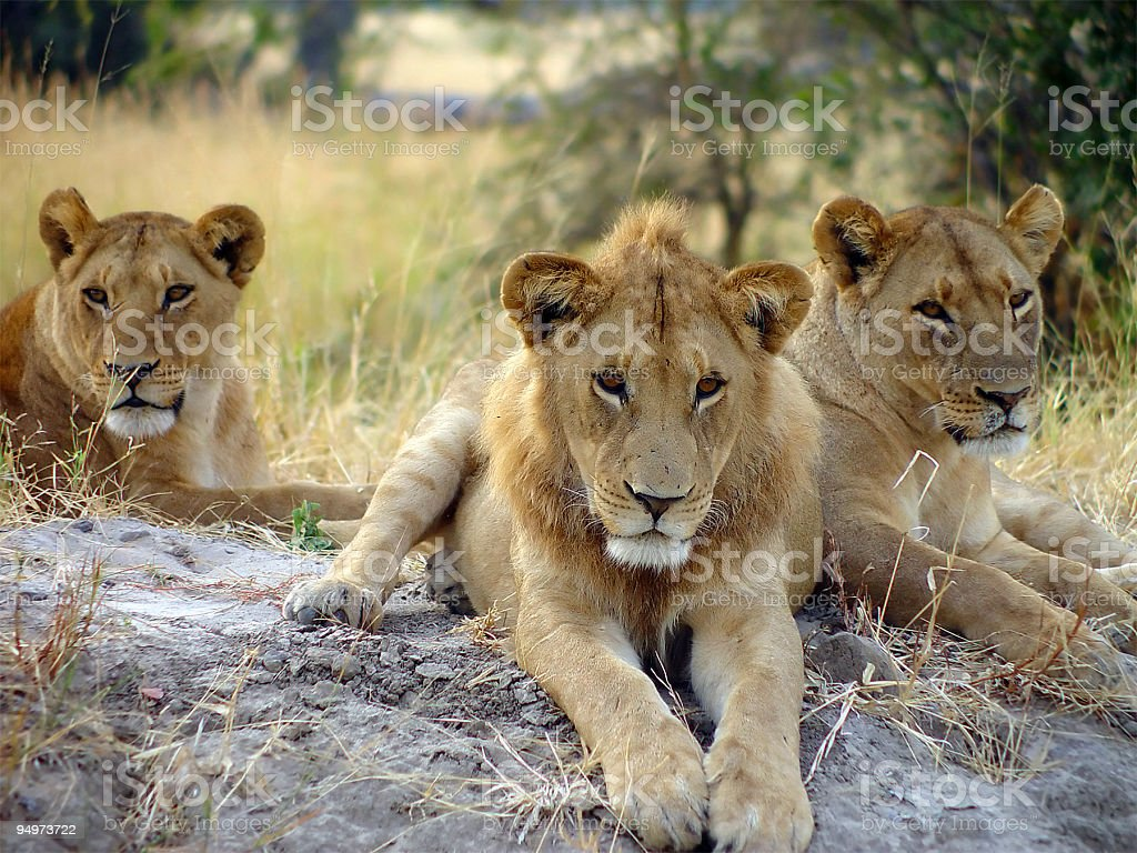 Lion Around stock photo