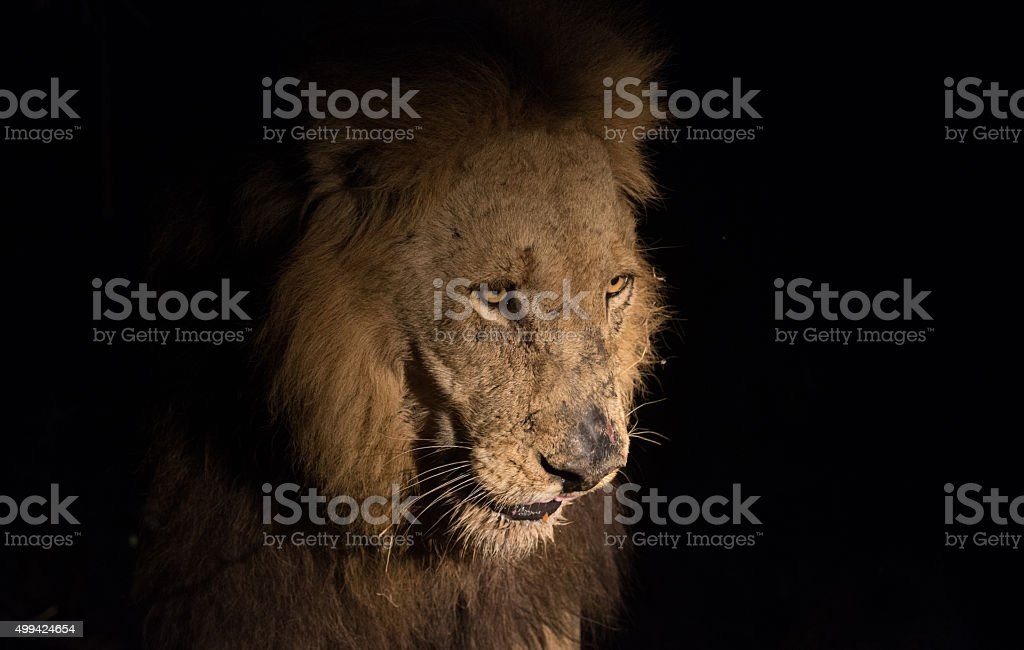 Lion at night stock photo