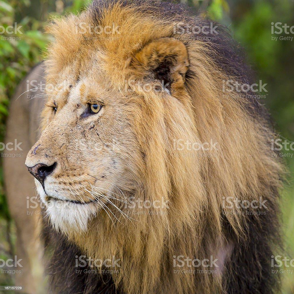 Lion at wild royalty-free stock photo