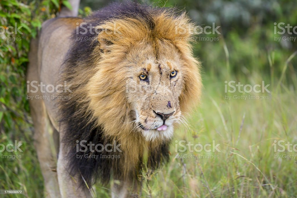 Lion at wild royalty-free stock photo