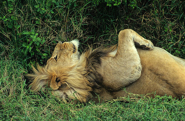 lion au repos stock photo