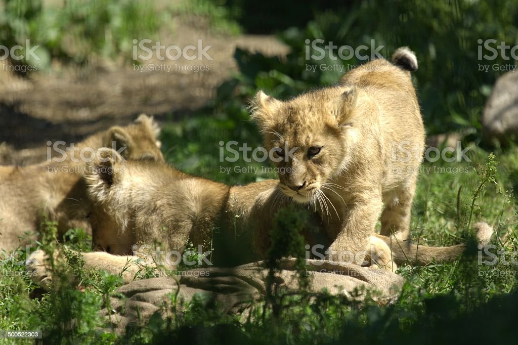 Lion babies stock photo