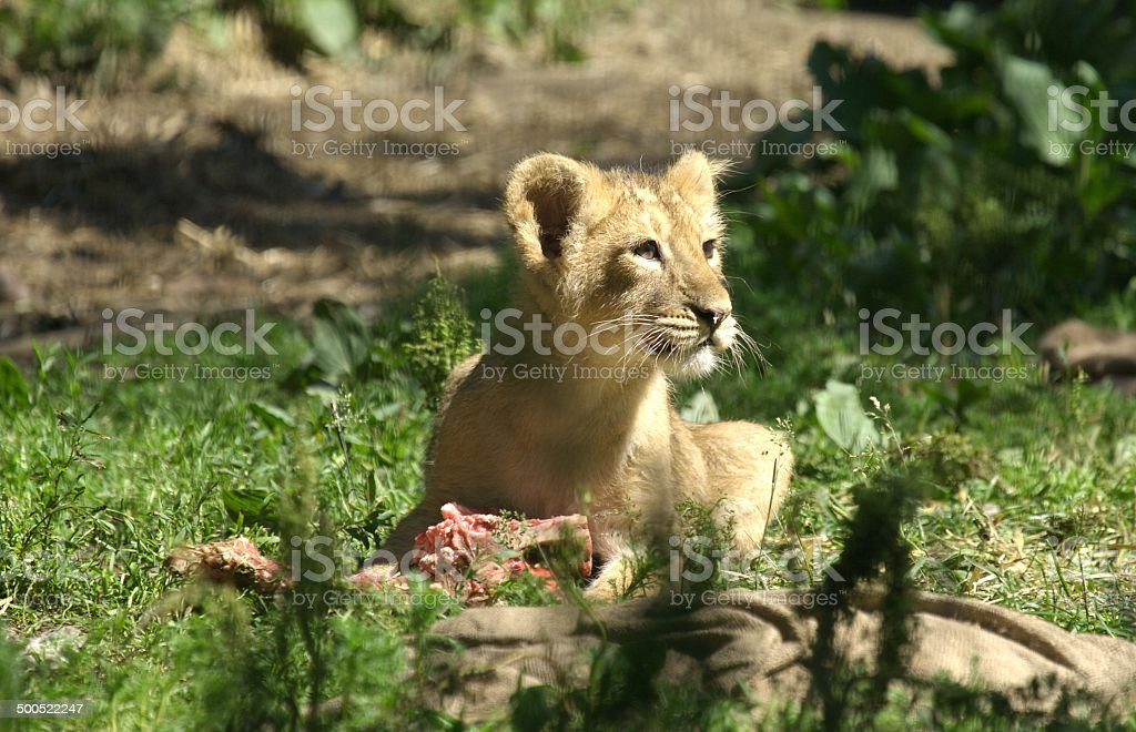 Lion baby having its dinner stock photo