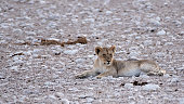 Big angry female lion in Etosha NP, Namibia. African lion walking in the grass, with beautiful evening light. Wildlife scene from nature. Animal in the habitat. Safari in Africa.