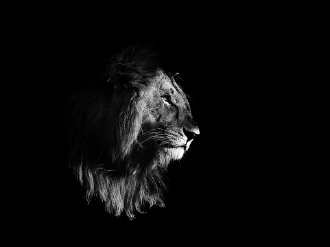 Lion, black and white, isolated on black background