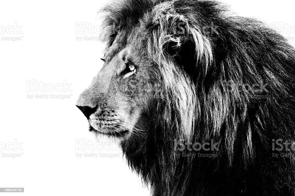 Lion, noir et blanc - Photo