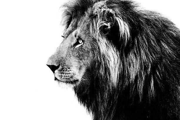 Löwe, schwarz und weiß – Foto