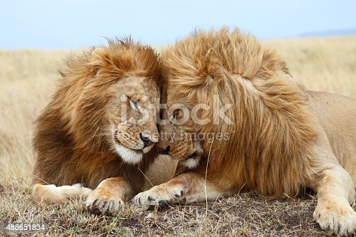 two male lions cuddle each other