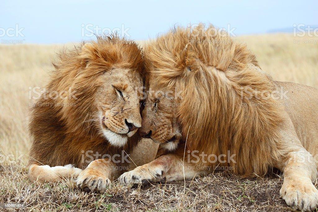 Frères Lion - Photo