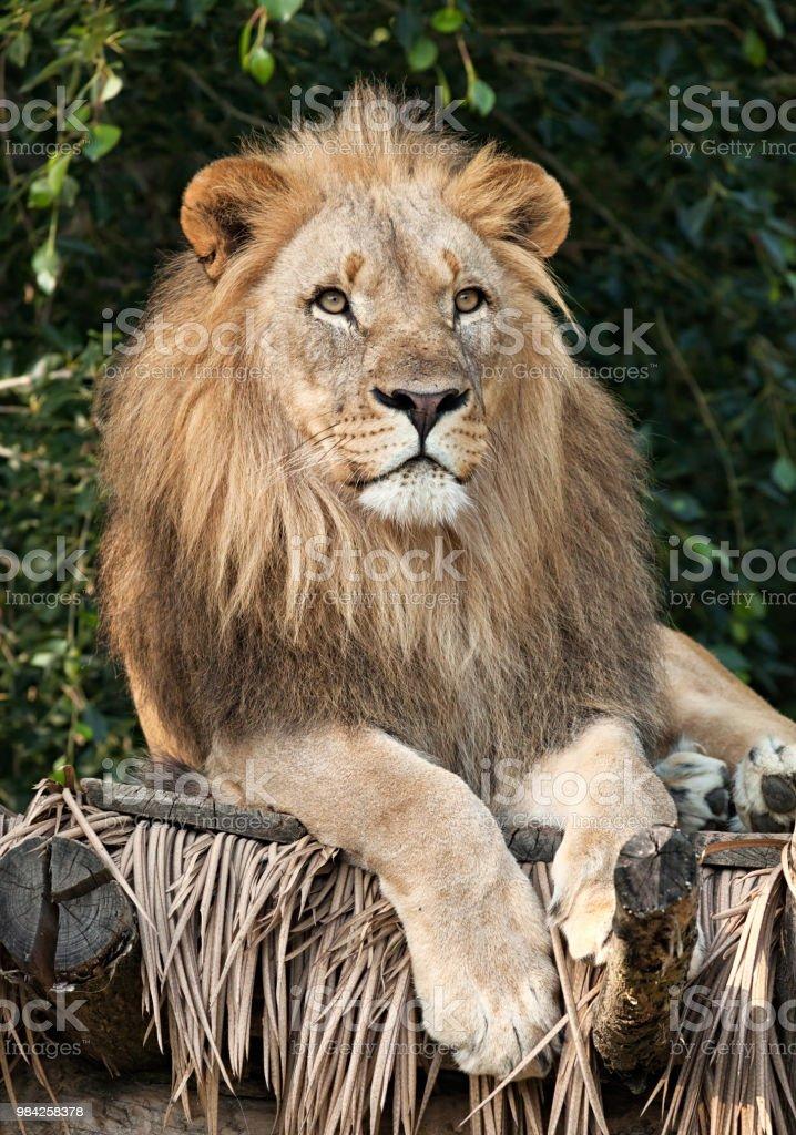 Lion Nahaufnahme Portrait Stockfoto Und Mehr Bilder Von Behaart Istock