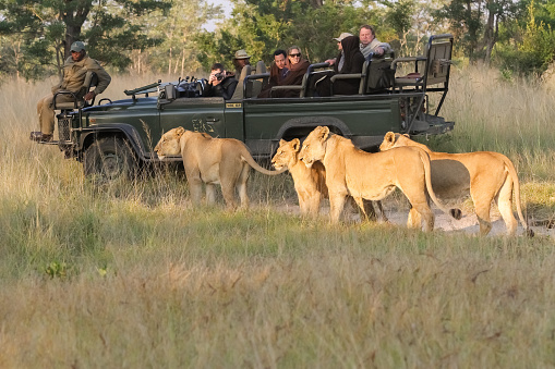Lion conservation and safari tourists in South Africa