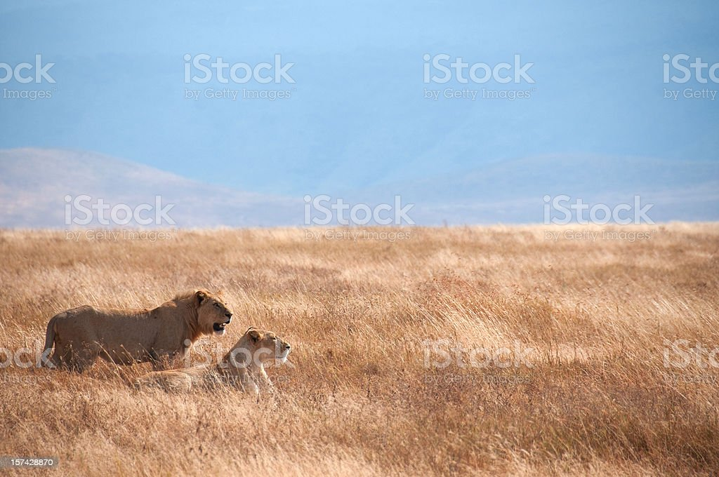 Lion couple in Ngorongoro Crater, Tanzania, Africa royalty-free stock photo