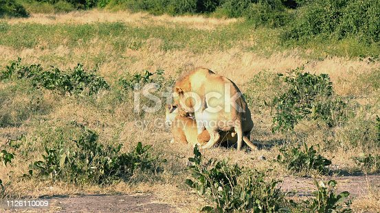 Male and female lion resting at Savannah. Reproducing