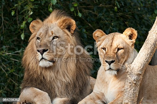 Lion Couple closeup