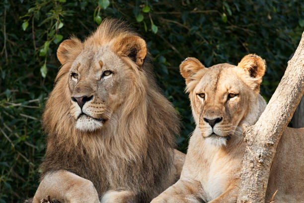 lion couple - lioness stock photos and pictures