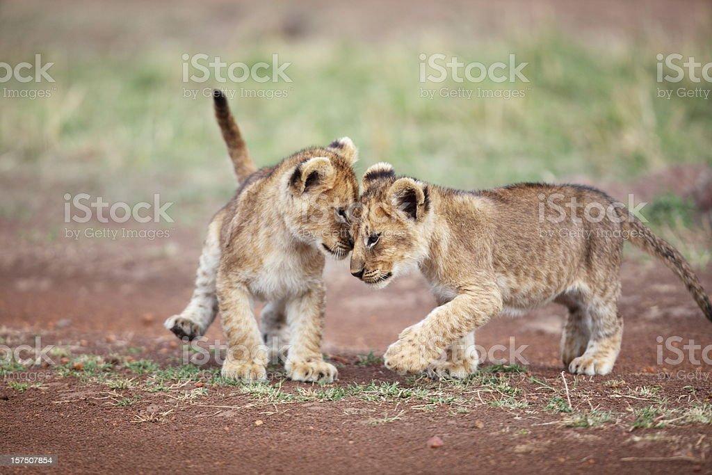 Lion cub affection stock photo