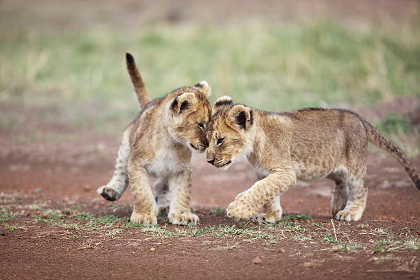 Lion cub affection Lion cubs being affectionate in the Masai Mara, Kenya lion cub stock pictures, royalty-free photos & images