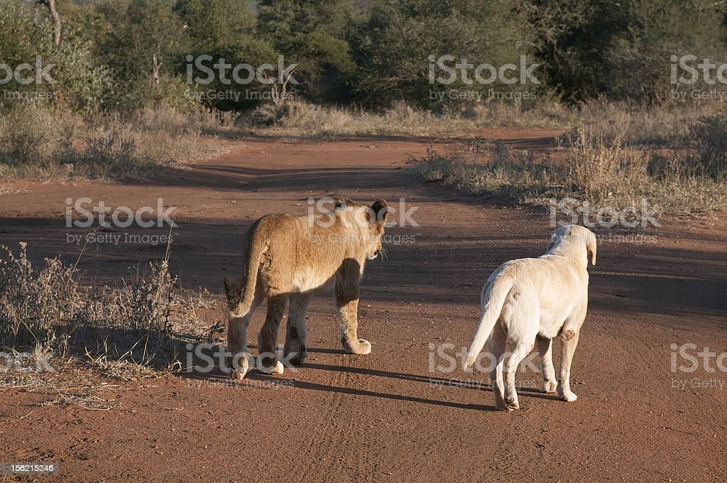 Lion cub and dog royalty-free stock photo