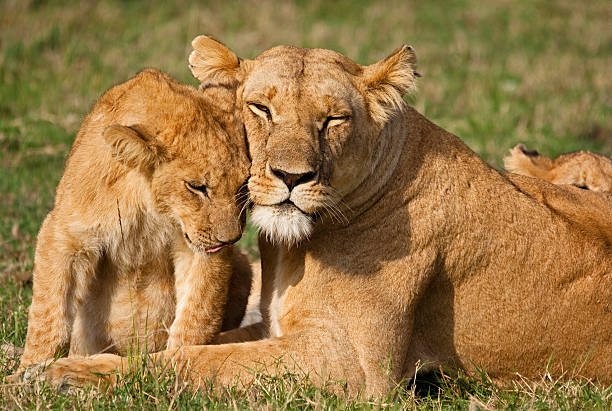 lion cub and mother - lioness stock photos and pictures