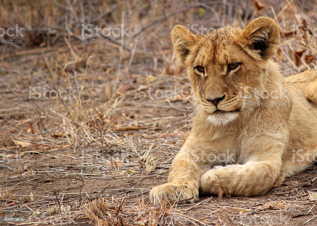 Lion Cub close up zbiór zdjęć royalty-free