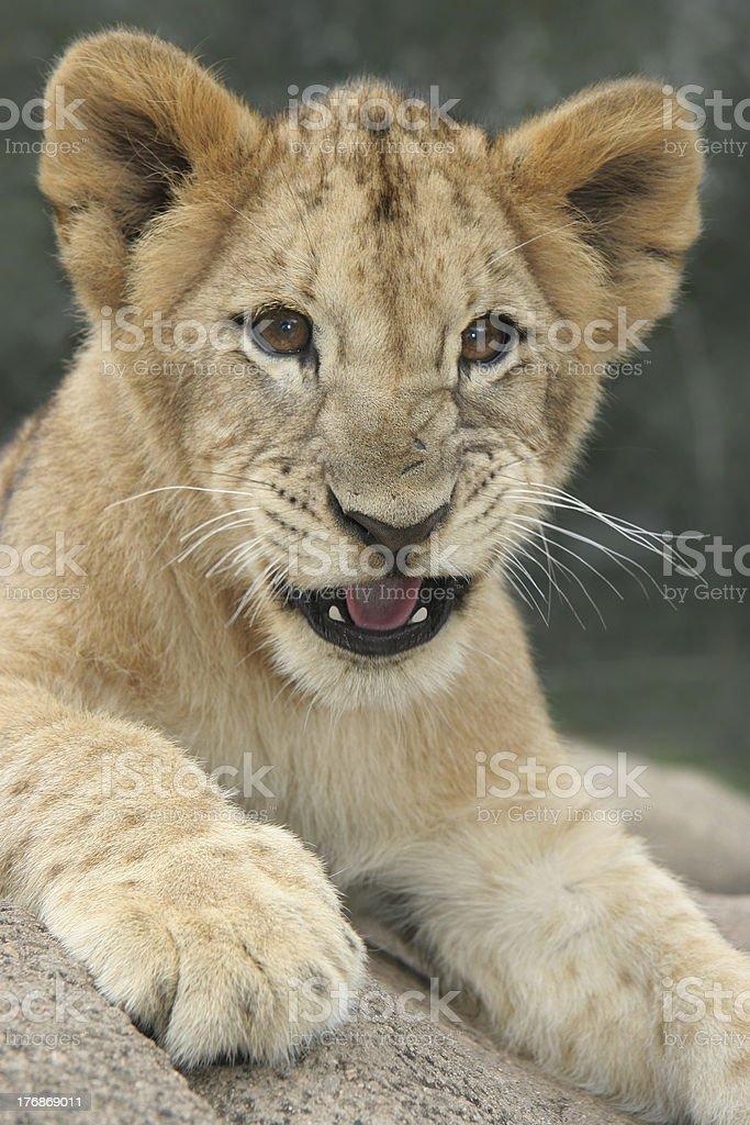 Lion cub growling royalty-free stock photo