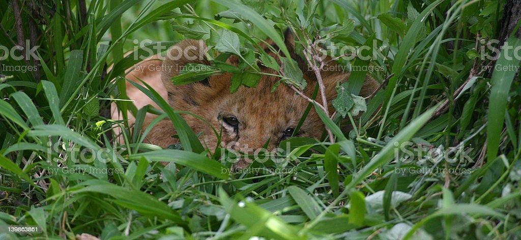 lion cub, hiding royalty-free stock photo