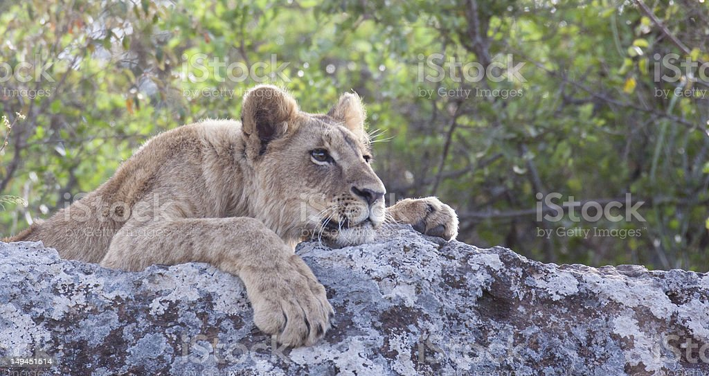 Lion cub in Nairobi National Park royalty-free stock photo