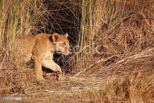 Lion cub in the long grass. Okavango Delta, Botswana, Africa