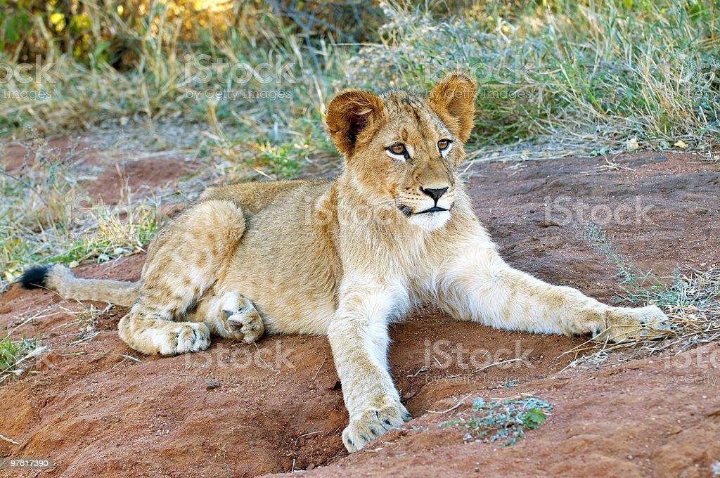 Lion cub in the morning light South Africa royaltyfri bildbanksbilder