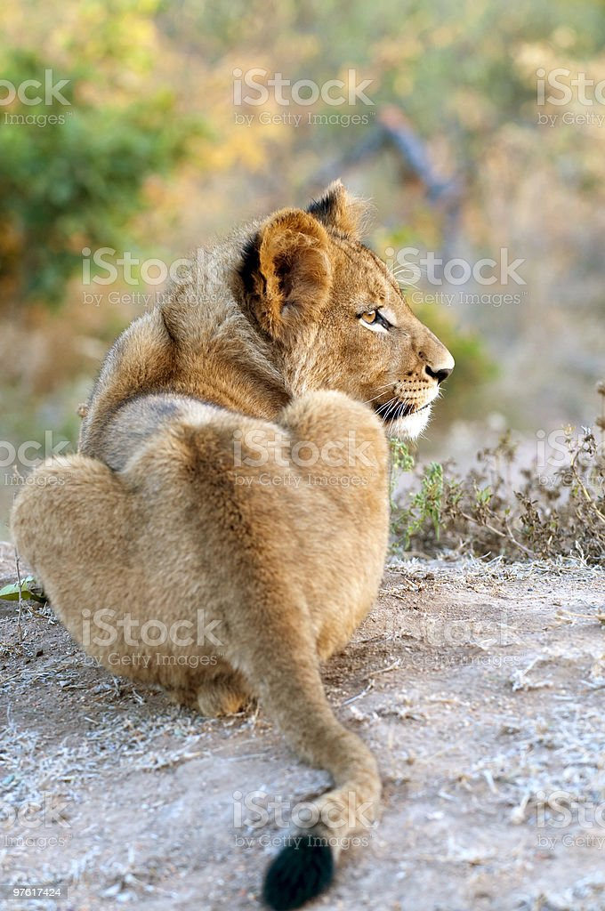 Lion cub in the morning light South Africa royalty-free stock photo
