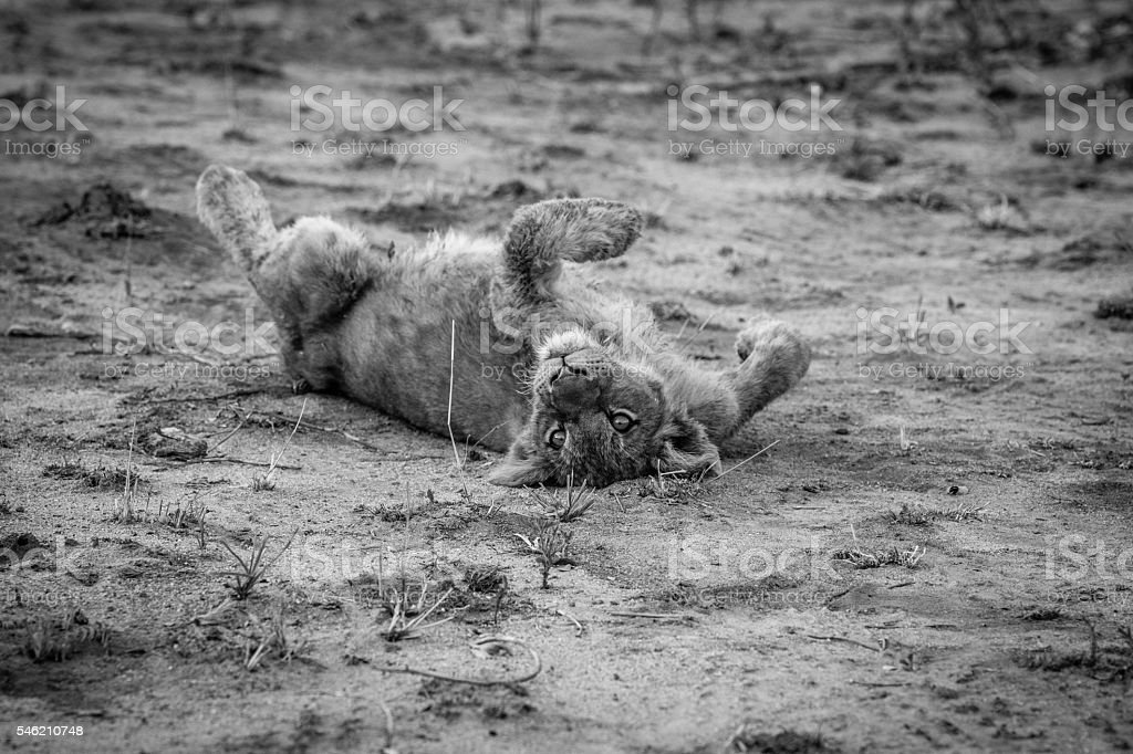 Lion cub laying in the dirt in black and white. stock photo