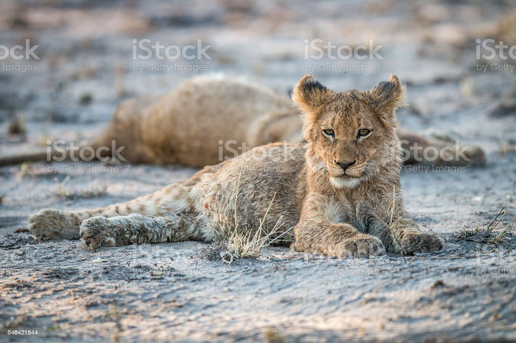 Lion cub laying in the dirt in the Sabi Sabi game reserve. stock photo