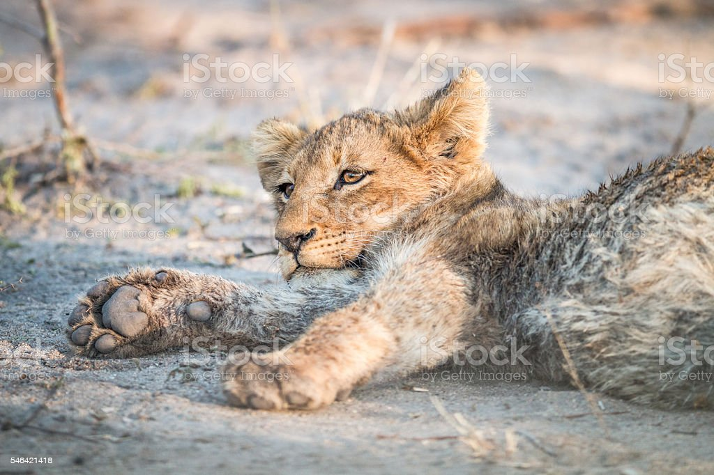 Lion cub laying in the dirt. stock photo