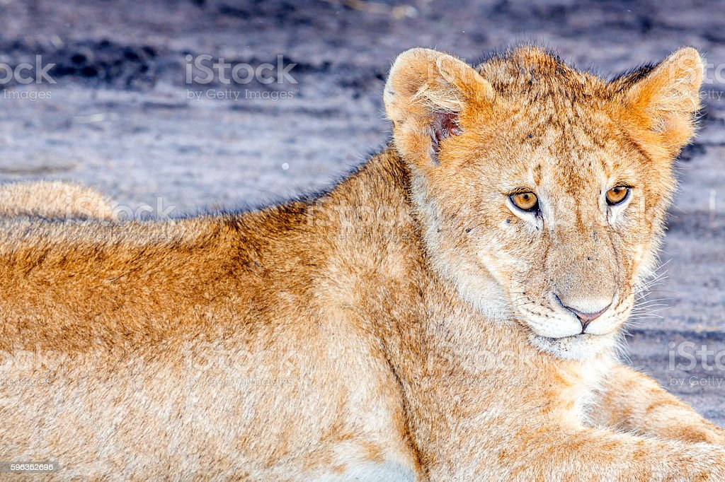 lion cub - looking royalty-free stock photo