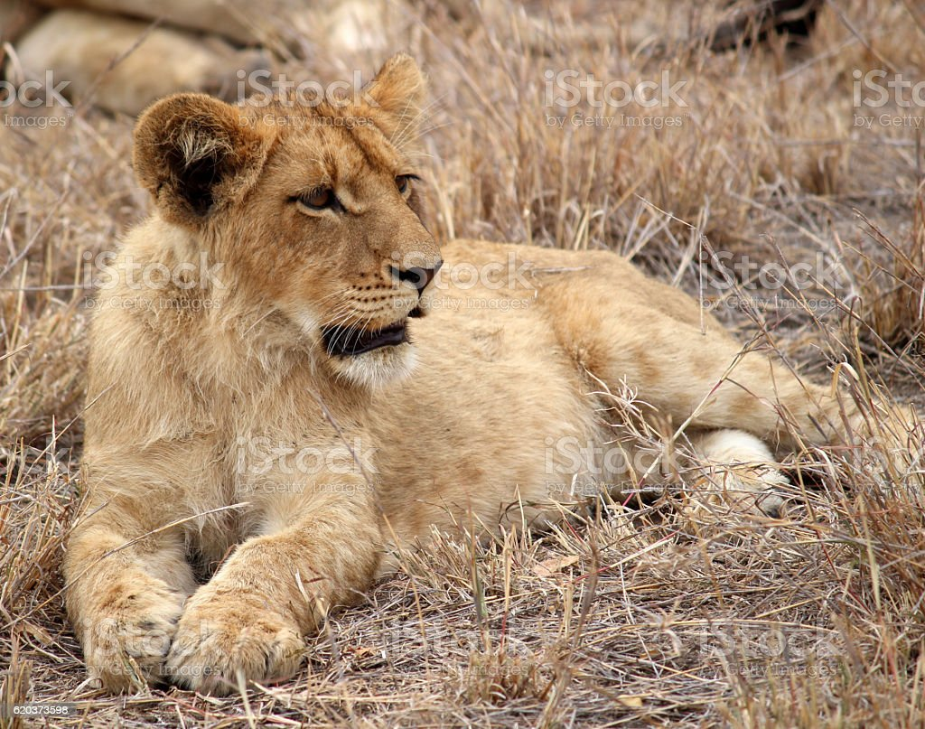 Lion Cub looking portrait zbiór zdjęć royalty-free