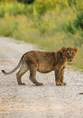 Single lion cub looks closely at photographer from dusty road in Namibia, Africa