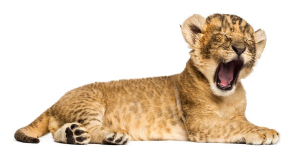 Lion cub lying down, roaring, 4 weeks old, isolated on white stock photo