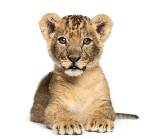 Lion cub lying, looking at the camera, 7 weeks old, isolated on white Lion cub lying, looking at the camera, 7 weeks old, isolated on white lion cub stock pictures, royalty-free photos & images