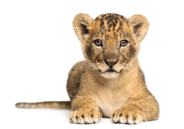 Lion cub lying, looking at the camera, 7 weeks old, isolated on white stock photo