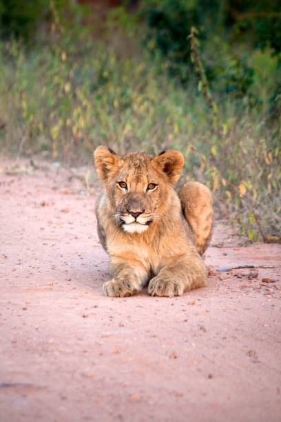 Lion cub lying on the road of Kruger stock photo