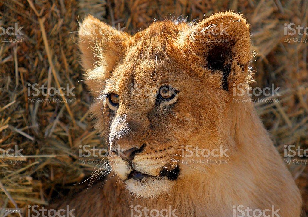 Lion Cub Male royalty-free stock photo
