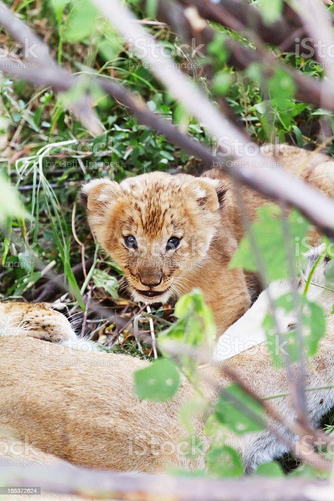 Lion cub, Masai Mara royalty-free stock photo