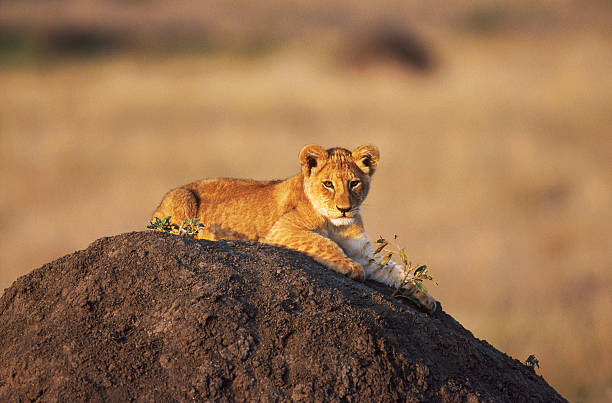 Lion cub on a heap of earth, looking at something stock photo