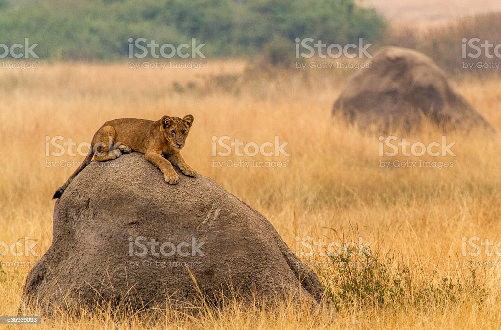 Lion cub on a rock stock photo